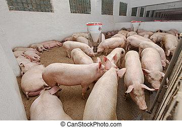 農場, 豬