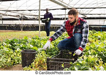 農夫, 温室, 仕事, グループ