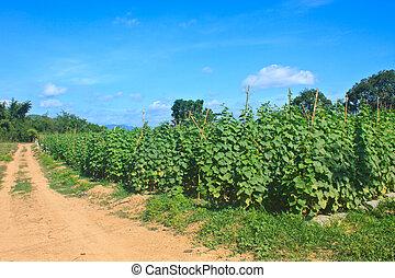 農業, 植物, 黃瓜