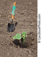 農業, 黃瓜, 植物, 在, 春天