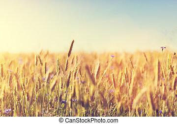 農業, sunset., concept., 収穫, フィールド, 小麦