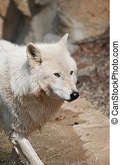 迷惑, 北極, 白色的狼, 在, the, 荒野