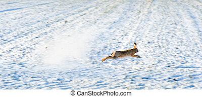 逃げる, ノウサギ