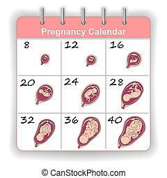 週, 成長, 胎児, カレンダー, 人間