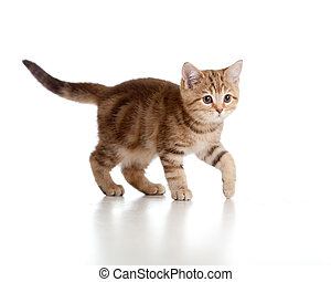 遊び好きである, breed., brittish, tabby., kitten.