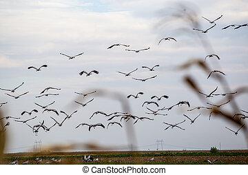 遷移, 飛行, 天空, 通路, 起重機, 鳥, sandhill
