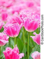 郁金香, 在, 花, 領域