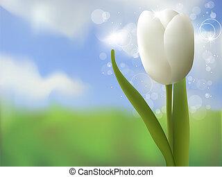 郁金香, 白色