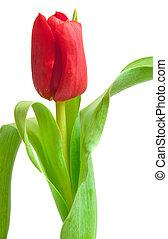 郁金香, 紅色