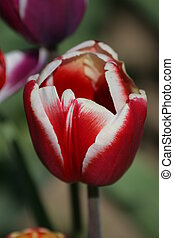 郁金香, 花
