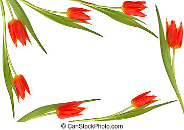 郁金香, 花, 美麗