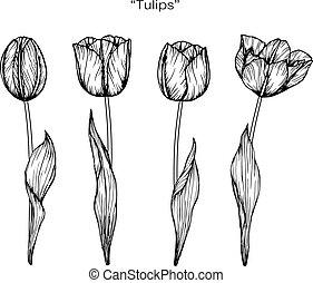郁金香, 花, drawing.