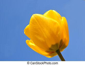 郁金香, 黃色