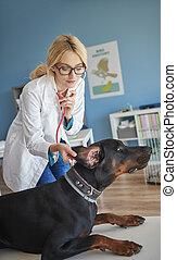 醫生, 檢查, 狗, 耳朵, 條件