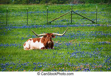 野生の花, テキサス, bluebonnet, ロングホーン, 牧草地