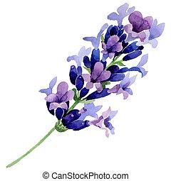 野生の花, isolated., 水彩画, ラベンダー, スタイル, 花