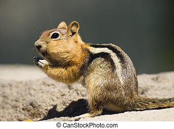 野生動物, chipmunk, 站立, 吃, 裝滿, 為, 冬天