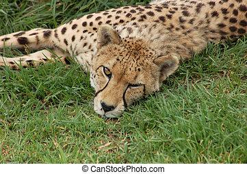 野生生物, 中に, africa:, チーター