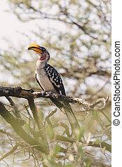 野生生物, hornbill, エチオピア, 北, 赤勘定書を出される