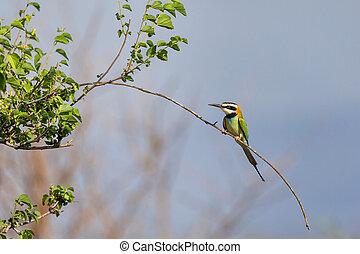 野生生物, white-throated, ミツバチ大好き人間, 鳥, エチオピア