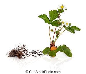 野生的草莓, 植物