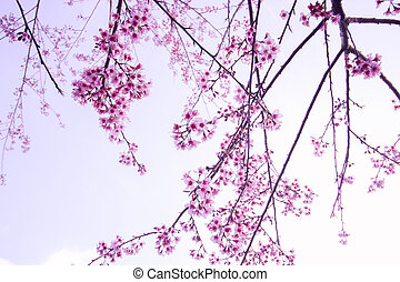 野生, さくらんぼ, himalayan, 咲く