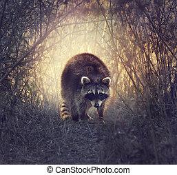野生, アライグマ