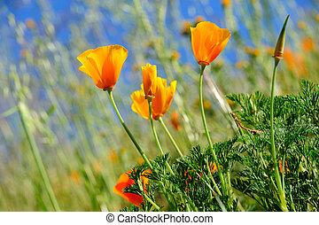 野生, ケシ, カリフォルニア, 草