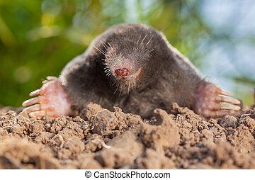 野生, モグラ, (talpa, europaea), 中に, 自然, 環境, 上に, a, molehill