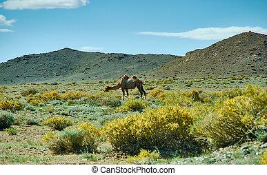 野生, ラクダ, mongolian, 風景, 典型的
