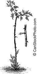 野生, 彫版, 線画, 木, 犬, 発芽, 芸術, 接木, バラ, アンティークなイラスト, ∥あるいは∥, 花, 型, 植物