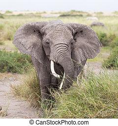 野生, 象, 中に, amboseli 国立公園, kenya.