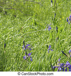 野生, irises., 春, flowers.