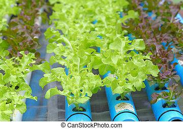 野菜, レタス, 緑, 若い, hydroponics