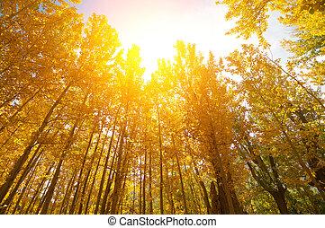 金ポプラ, 木, 秋