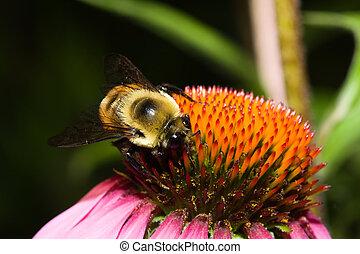 金色, 北方, bumblebee