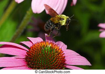 金色, 北方, bumblebee, 在飞行中
