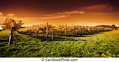 金色, 葡萄园, 日落