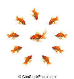 金魚, 中間, fish, 環繞, 醜陋
