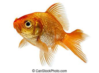 金魚, 前面, 背景, 白色