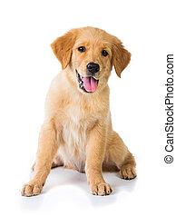 金, モデル, 床, 犬, 隔離された, bac, 白, レトリーバー