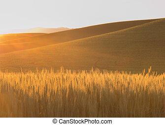 金, 小麦, 太陽の 火炎信号, フィールド, 回転