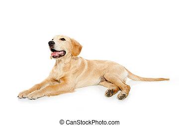 金, 犬, 隔離された, 白, 子犬, レトリーバー
