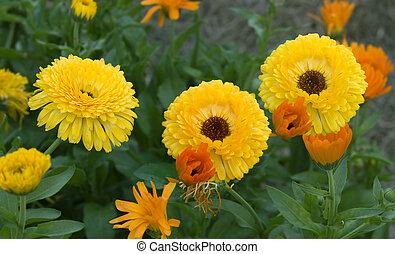 金, 花園, カラフルである, 春, 黄色, 明るい, マリーゴールド, 緑の葉群, calendula