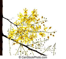 金, 花, 木, 隔離された, シャワー, 白