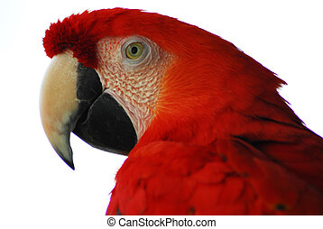 金, macaw, 鳥, 赤
