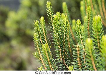 針葉樹の木, クローズアップ, /, 針葉樹, 木, マクロ, 森林, 風景