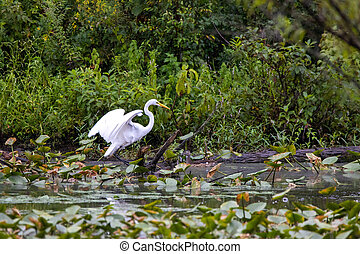 釣魚, 沼澤, 白鷺