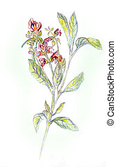 鉛筆, salvia, officinalis., 図画
