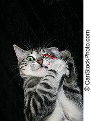 銀, 平紋, 小貓, 玩, 由于, 紅的老鼠